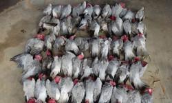 Hàng trăm con vẹt rơi xuống đường phố Australia